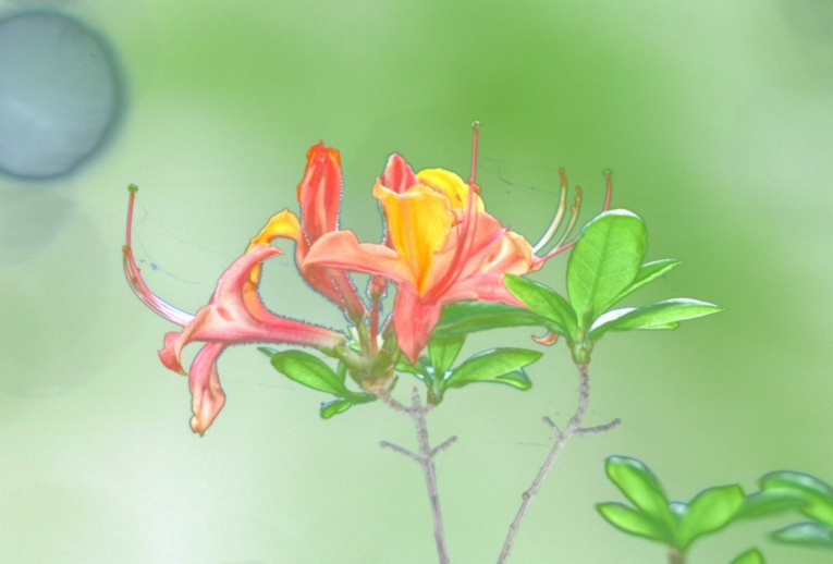 WB_Rhododendron 2